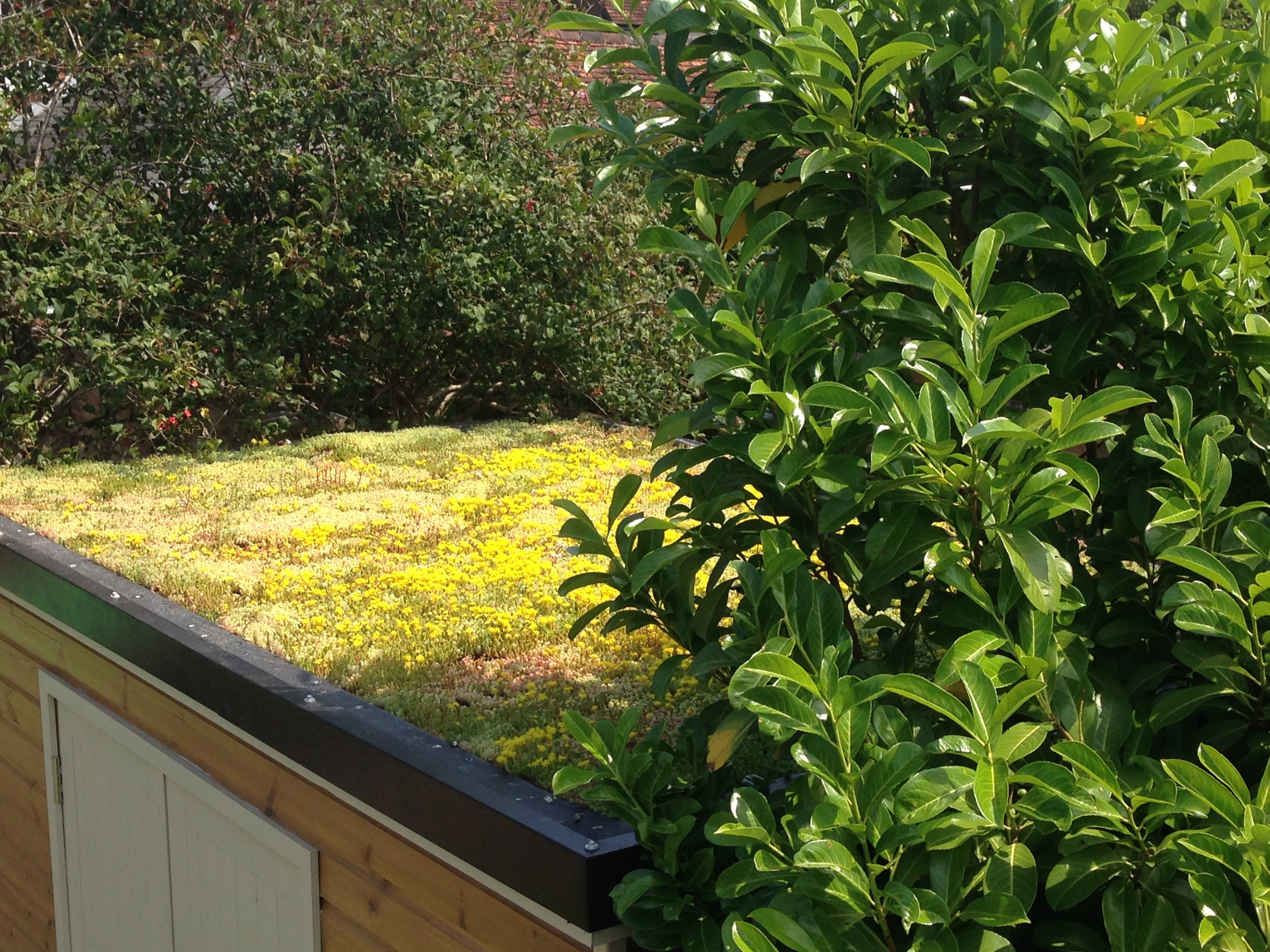 Green roof a few months later, in flower