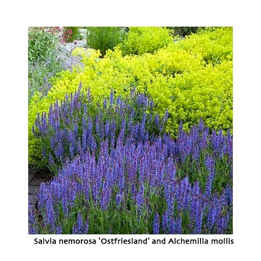 Salvia nemorosa 'Ostfriesland' with Alchemilla mollis