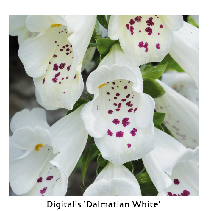 Digitalis dalmatian white
