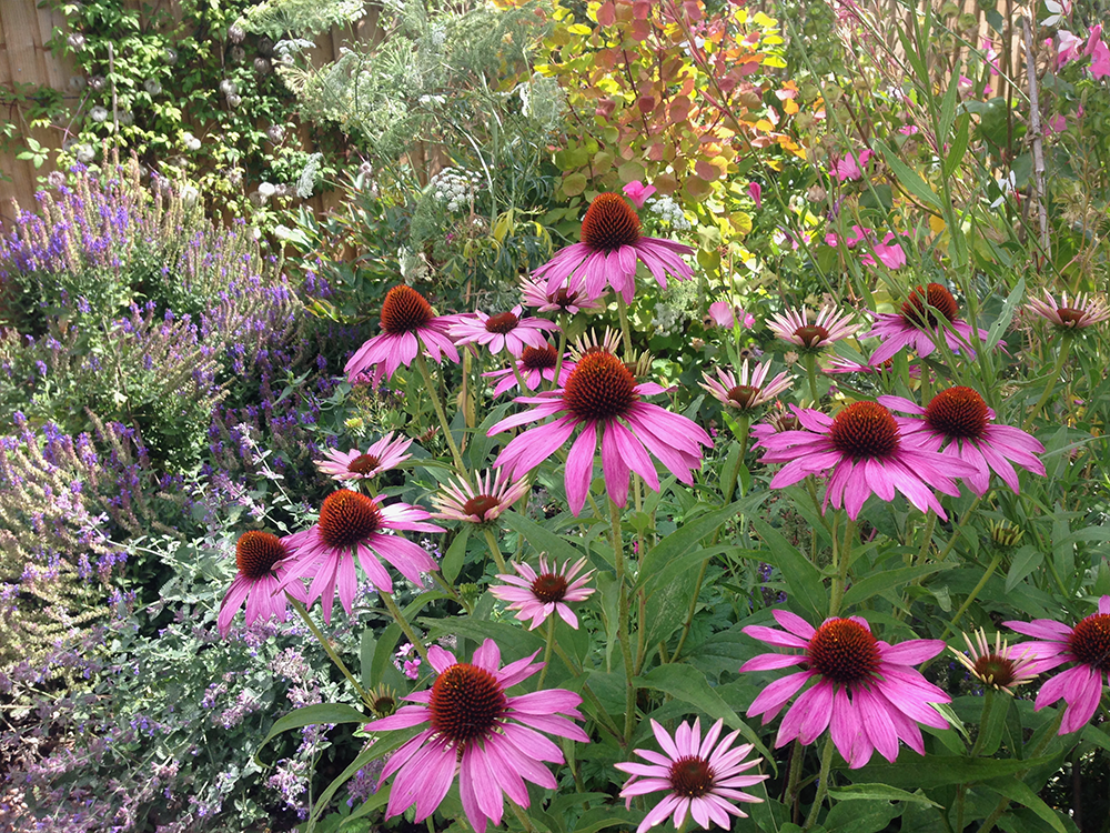 Echinacea with Lavatera 'Loveliness'