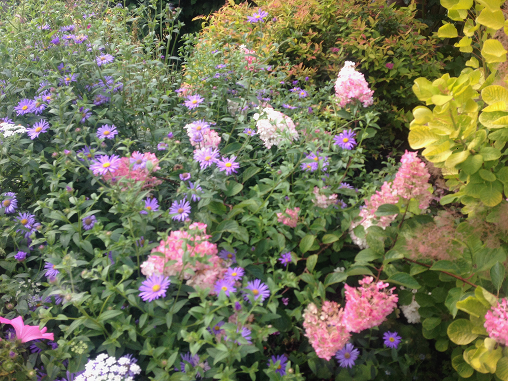 Hydrangea and Asters