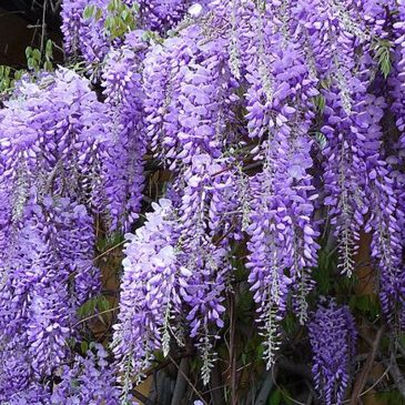 How to ensure beautiful blooms on your Wisteria