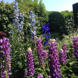 Lupins and Delphiniums