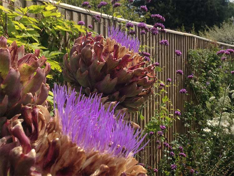 Artichokes are highly ornamental all year round