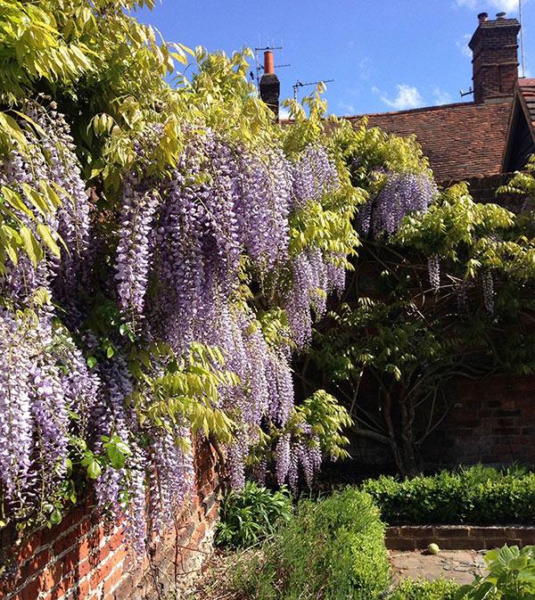 Wisteria in Walled Garden, Amersham